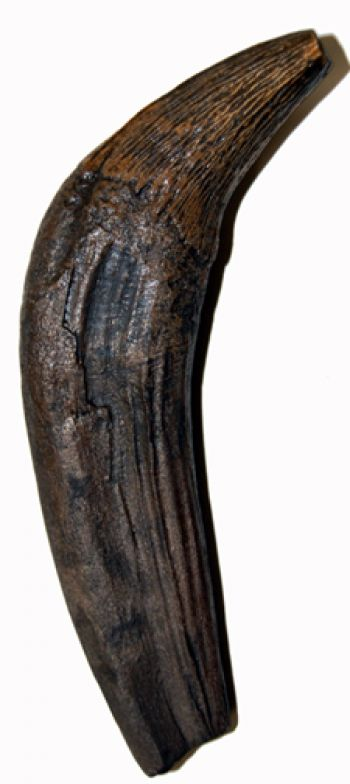 Zygorhiza, early whale canine tooth