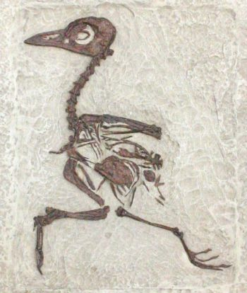 Gallinuloides wyomingensis, bird