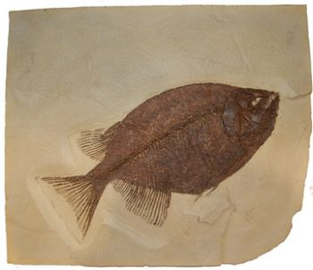 Phareodus testis, Green River Fish