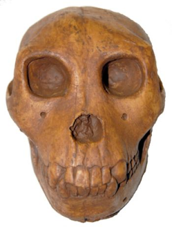 Proconsul, early primate skull