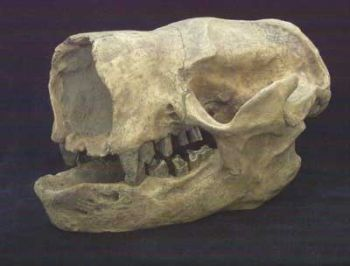 Glossotherium chapadmalensis, sloth skull
