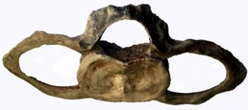 Balaenoptera musculus, Giant Blue Whale Cervical (neck) Vertebra