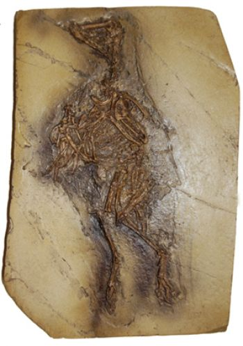 Confuciusornis sanctus, fossil bird from China
