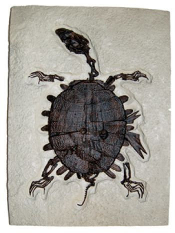 Trionyx, green river turtle with bite marks