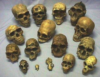 Hominid Skull Collection, 17 Skulls (save over $700)