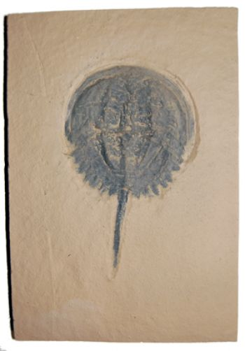 Mesolimulus walchi, Horseshoe Crab, medium
