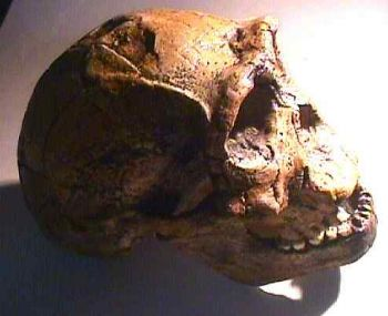 Homo ergaster, skull sculpture of  KNM-ER 3733
