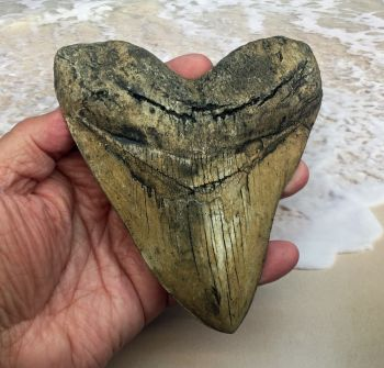 Megalodon (Carcharodon megalodon) tooth, Ivory