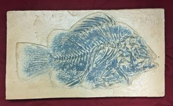 Priscacara, Green River Fossil Fish