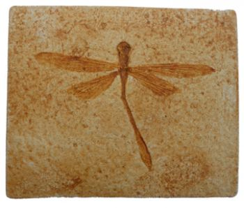 Stenophlebia aequalis, dragonfly, insect