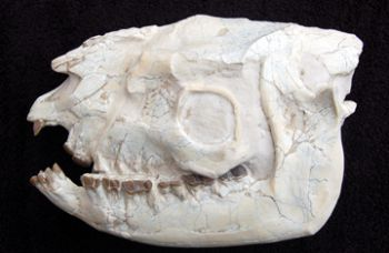 Hyracodon, Authentic Fossil Rhino Skull With Lower Jaws