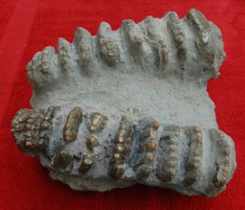 Stegodon huanghoensis, palate & teeth