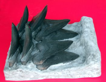 Megalodon Tooth Progression With 8, 6 Inch Teeth