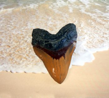 Massive 6 Inch Megalodon (Carcharodon megalodon) tooth, Caramel