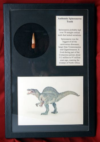 Authentic Spinosaurus Tooth in Riker Display