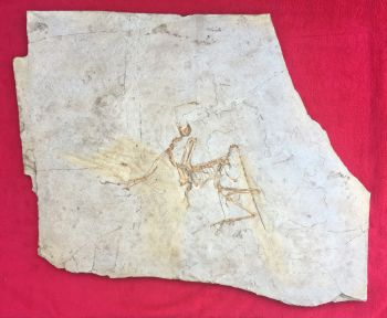 Archaeopteryx lithographicia , the Munich Specimen