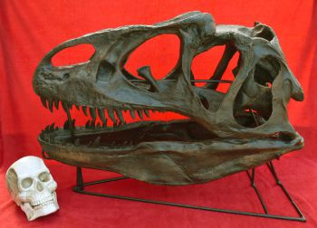 Allosaurus skull with Detached Lower Jaw & Stand