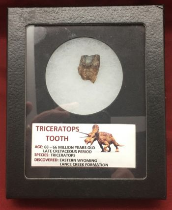 Authentic Triceratops Dinosaur Fossil Spitter/Floater Tooth #102