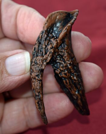 Rooted Triceratops Tooth