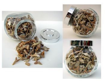 Fossil Shark Teeth in Decorator Jar