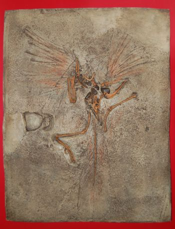 Archaeopteryx London Specimen