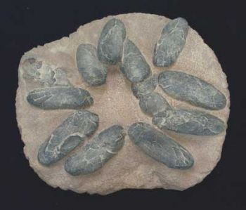 Theropod Dinosaur Egg Nest With 12 Eggs
