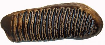 Mammuthus primigenius woolly mammoth tooth
