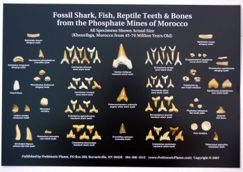 Fossil Shark Teeth, Fish, Reptile & Bones from Morocco,  Poster
