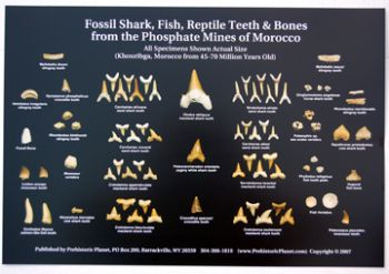 20 Fossil Shark Teeth, Fish, Reptile & Bones from Morocco Posters