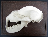 Hipposideras commersoni, Commerson's leaf-nosed bat skull profile