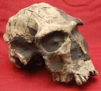 Homo habilis, early human skull