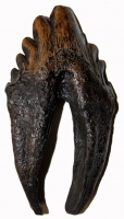 Zygorhiza, early whale tooth molar