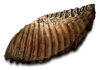 Woolly Mammoth Tooth, Mammuthus jeffersonii