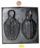 Trilobite Teaching Colletion, 35 specimens
