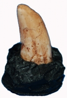 Tyrannosaurus rex, (Baby-Hatchling Tooth)