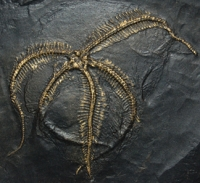 Loriolaster gracilas, brittle star
