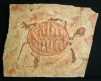 Manchurochelys liaoxiensis, fossil turtle
