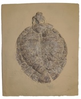 Allaeochelys crassesculptata, Messel Turtle