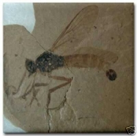 Fossil Robber Fly Ceramic Tile SOLD OUT