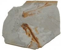 Lycoptera, Coleptra sp. Fossil Fish From China SOLD