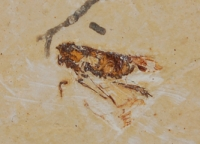 Insect Fossil from Brazil SOLD