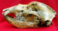 Ursus spelaeus, Cave Bear Skull & Lower Jaws