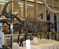 Woolly Rhino (Coelodonta antiquitatis) skeleton replica