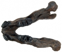Megalonyx jeffersoni, ground sloth skull, Now The West Virginia State Fossil