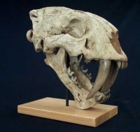 Megantereon inexpectatus, saber-toothed cat skull