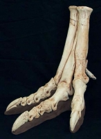 Tarbosaurus bataar, foot with pathology
