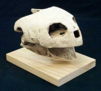 Gafsachelys, giant sea turtle skull
