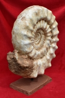 Parisphinctes, large ammonite
