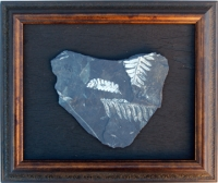 Rare White Fern Fossils, authentic SOLD