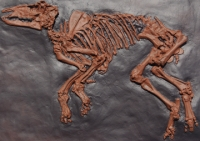Propalaeotherium, Messel Horse Skeleton